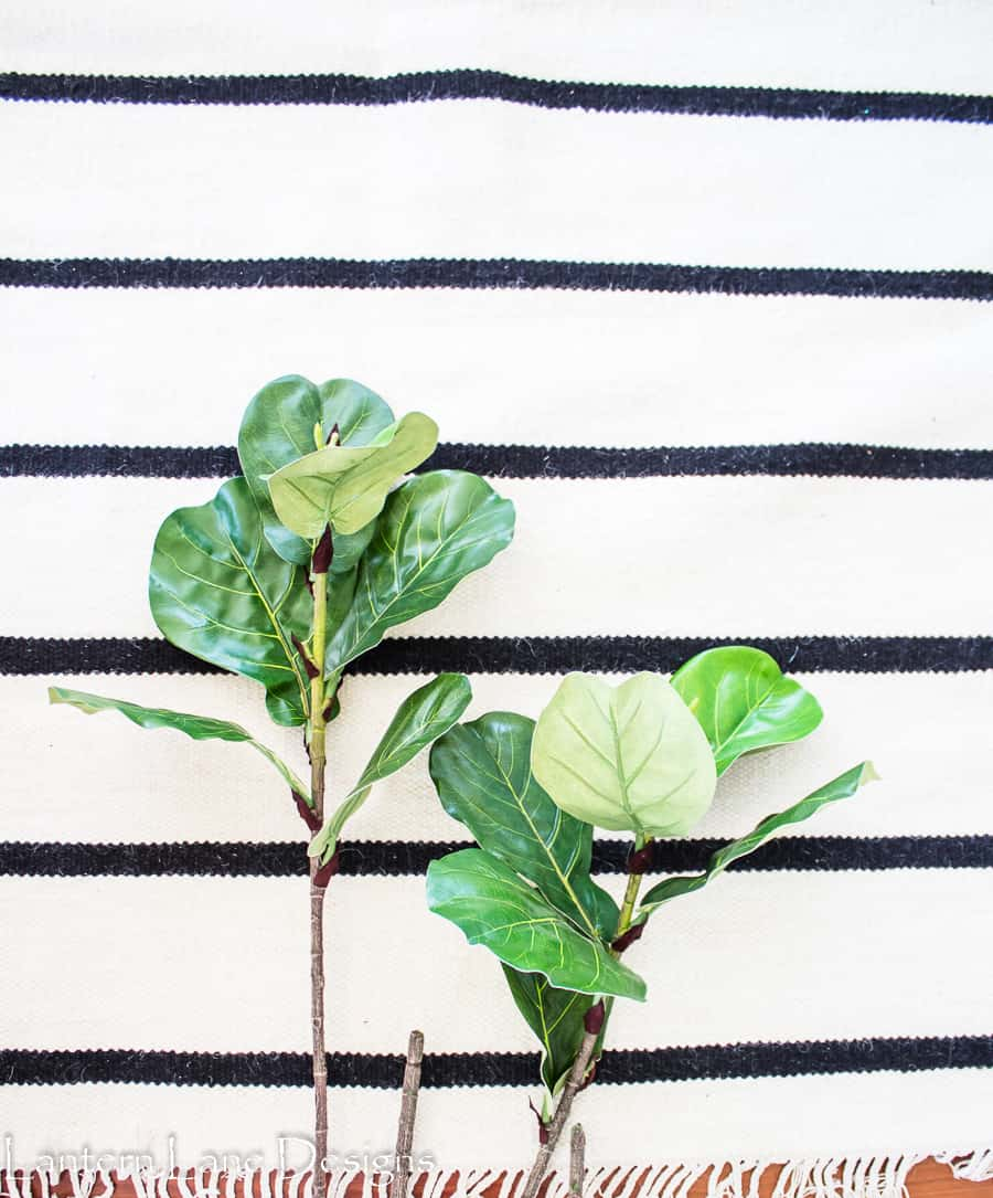 Fiddle leaf fig stems